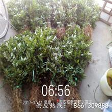 邵陽市花椒苗怎么種植超低價廠家直銷基地圖片