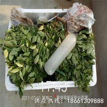唐山市日本無刺花椒苗價格什么時候種植好銷售圖片
