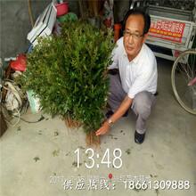 西宁市花椒苗购销合同品种纯正假一赔十种植技术指导图片