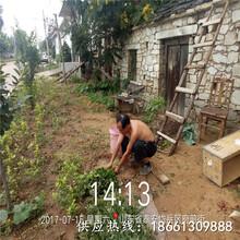 丽江市花椒苗培育方法一棵多少钱基地图片