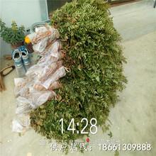 桂林市花椒苗怎么种植方法育苗注意事项种植技术指导图片