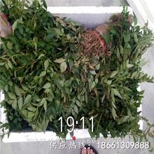 青岛市四川花椒苗基地育苗注意事项种植技术指导图片