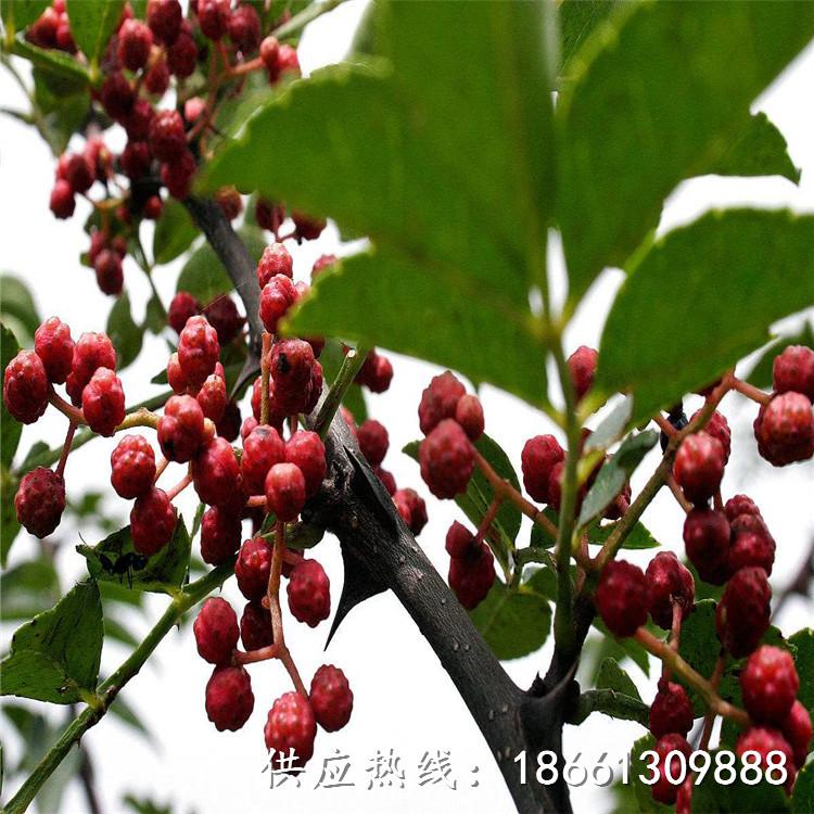 松原市無刺大紅袍花椒苗批發種植技術指導廠家
