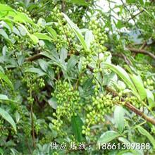 東莞市遵義花椒苗品種純正假一賠十基地圖片