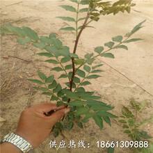 自贡市花椒苗怎么种植低价抢购厂家图片