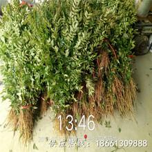 驻马店市九叶青花椒苗批发1棵多少价格销售图片