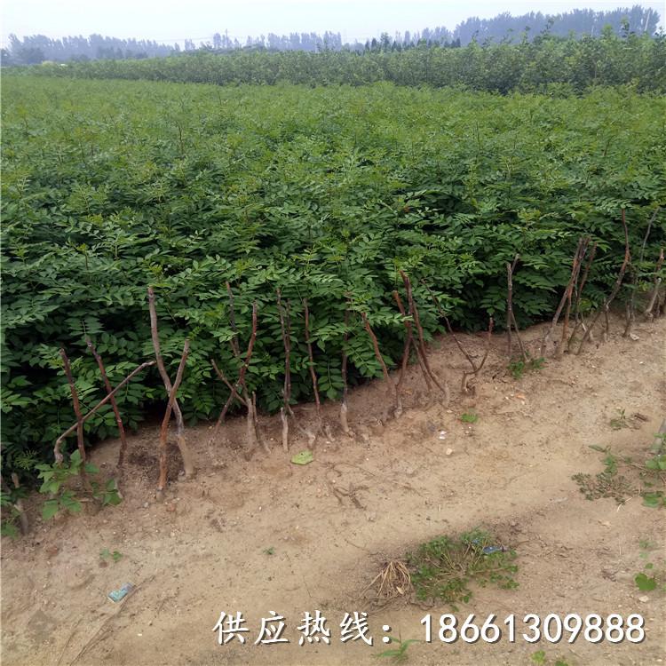 淄博市青花椒苗價格幾年結果種植技術指導