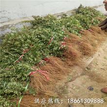 揭阳市花椒苗去哪找批发基地厂家图片
