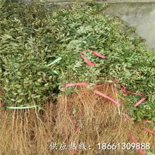 张家界市韩城大红袍花椒苗基地哪里有售销售图片