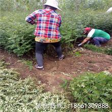 杭州市花椒苗培育技术视频品种多成活率高质量好销售图片
