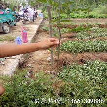 湛江市花椒苗培育技术视频品种纯正假一赔十种植技术指导图片
