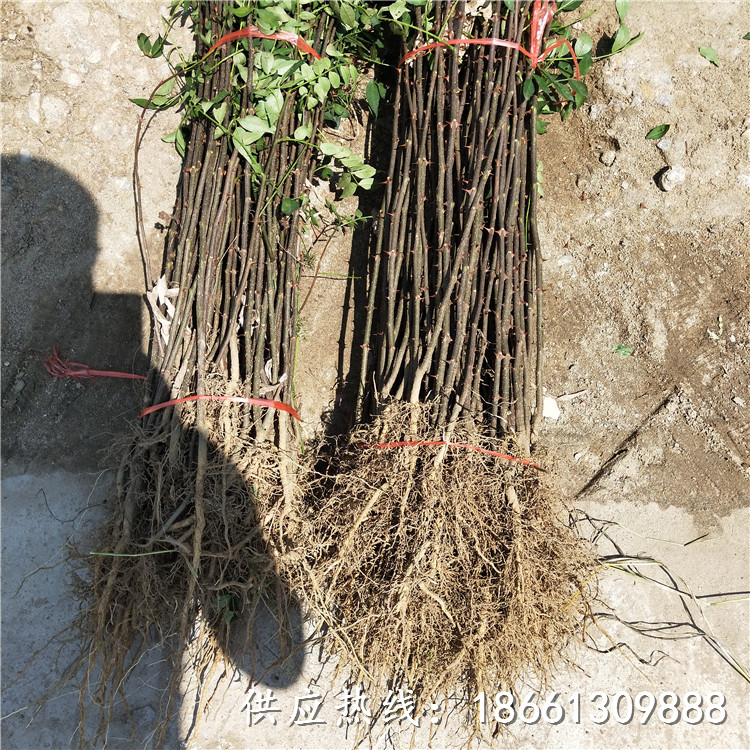 渭南市無刺花椒苗價格免費提供技術種植技術指導