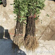 怀化市花椒苗出售育苗注意事项种植技术指导图片