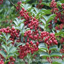 杭州市花椒苗培育技术视频保姆式扶持厂家图片