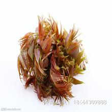 德陽市香椿苗圖片種植技術指導種植技術指導圖片