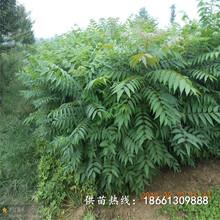 九江市香椿苗基地种植技术指导厂家图片