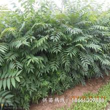 荊州市香椿苗的營養價值什么時候種植好銷售圖片