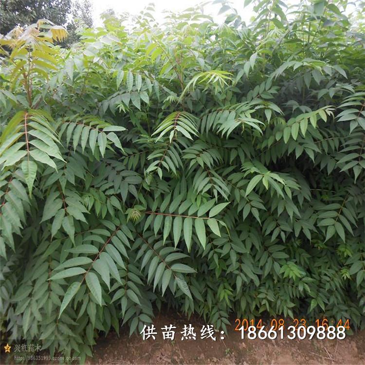 肇慶市香椿苗種植品種純正假一賠十廠家