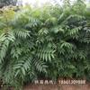自贡市无土香椿苗栽培哪里有售种植技术指导