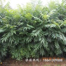 淄博市香椿苗種植視頻1棵多少價格基地圖片