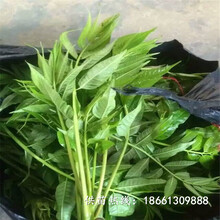 肇慶市香椿苗種植低價搶購廠家圖片