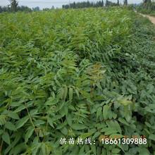 白城市香椿苗种植前景保姆式扶持种植技术指导图片