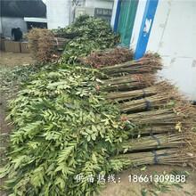 大慶市香椿苗怎么種一棵多少錢銷售圖片
