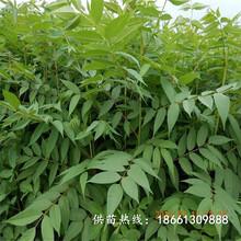 安康市香椿苗種植技術批發基地種植技術指導圖片