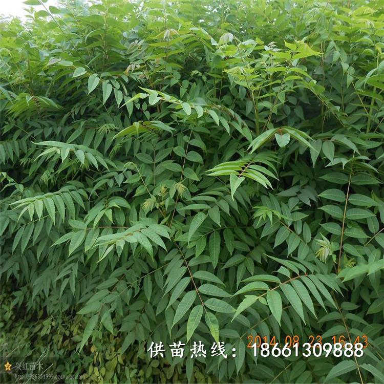 婁底市香椿苗種子什么時候種植好銷售