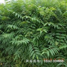 開封市香椿苗種植方法優質高產成活率高廠家圖片