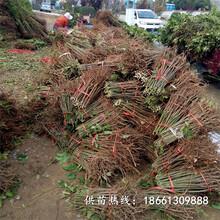 福州市香椿苗种植视频批发价格查询销售图片