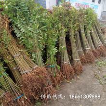 太原市香椿苗种植技术优质高产成活率高种植技术指导图片