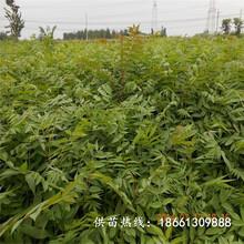开封市香椿苗种植方法欢迎前来咨询厂家图片