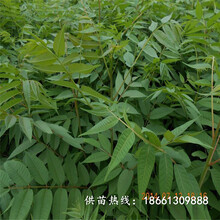 迪庆香椿苗种植种植技术指导厂家图片