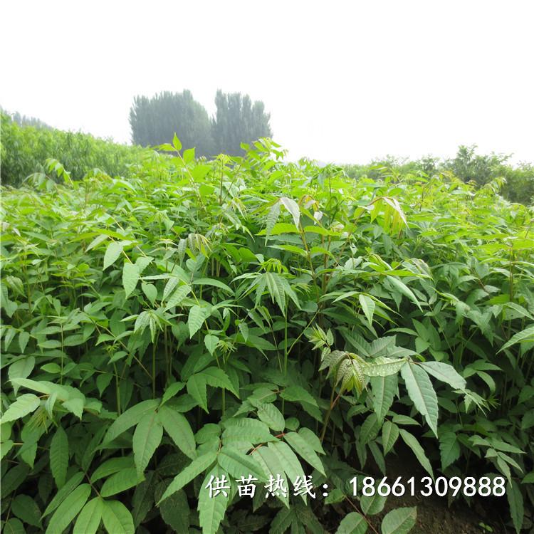 榆林市香椿苗種植前景種植種植技術指導
