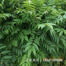 肇庆市香椿苗种植价格透明销售图片