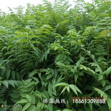 聊城市香椿苗芽菜的培育方法育苗注意事项销售图片