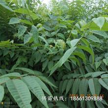 金华市香椿苗芽菜的培育方法优质高产成活率高厂家图片