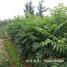 衡水市香椿苗怎么种保姆式扶持种植技术指导图片