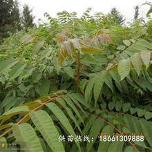 大慶市香椿苗怎么種幾年結果銷售圖片
