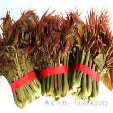 揚州市香椿苗栽培技術品種純正假一賠十種植技術指導圖片