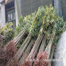 内江市香椿苗种植技术种植技术指导厂家图片