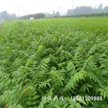 鄭州市香椿苗種植技術100棵起售種植技術指導圖片