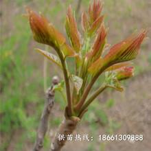 周口市香椿苗種子1棵多少價格銷售圖片