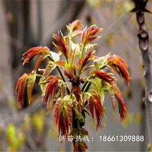 丽江市香椿苗种植优质高产成活率高种植技术指导图片