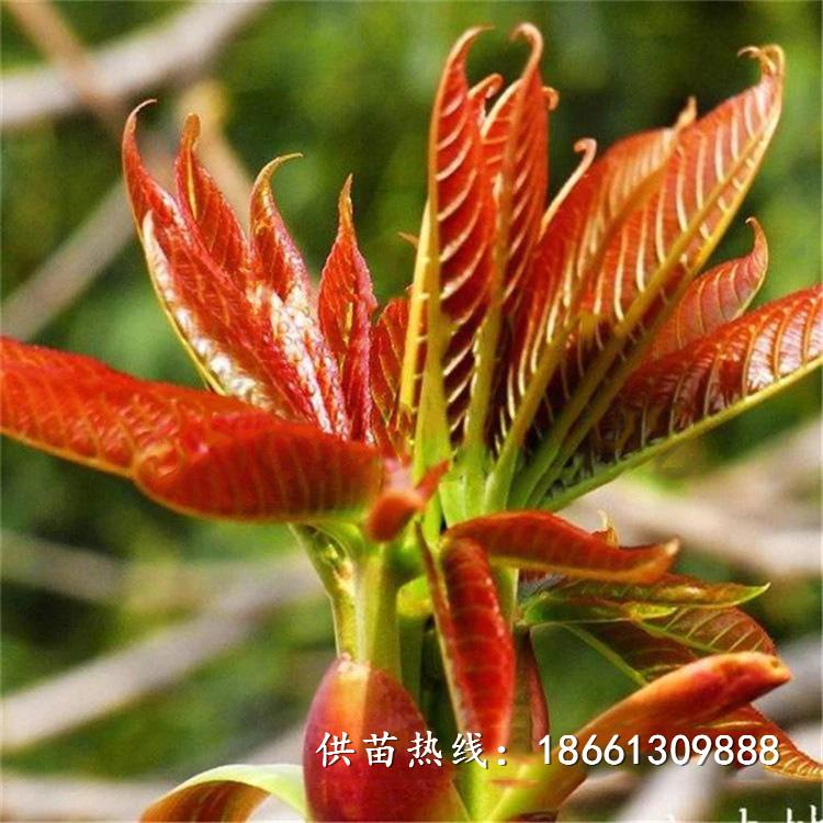 忻州市香椿苗的營養價值批發基地種植技術指導