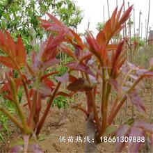 遂寧市紅油香椿苗批發種植技術指導廠家圖片