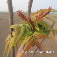 鹰潭市香椿苗价格品种多成活率高质量好基地图片