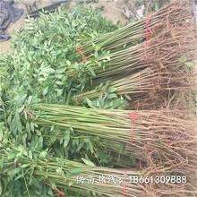 包頭市香椿苗栽培100棵起售種植技術指導圖片