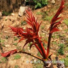 三亚市红油香椿苗基地一棵多少钱基地图片